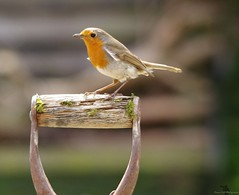 HolderRobin on a spade handle classic pose (1)