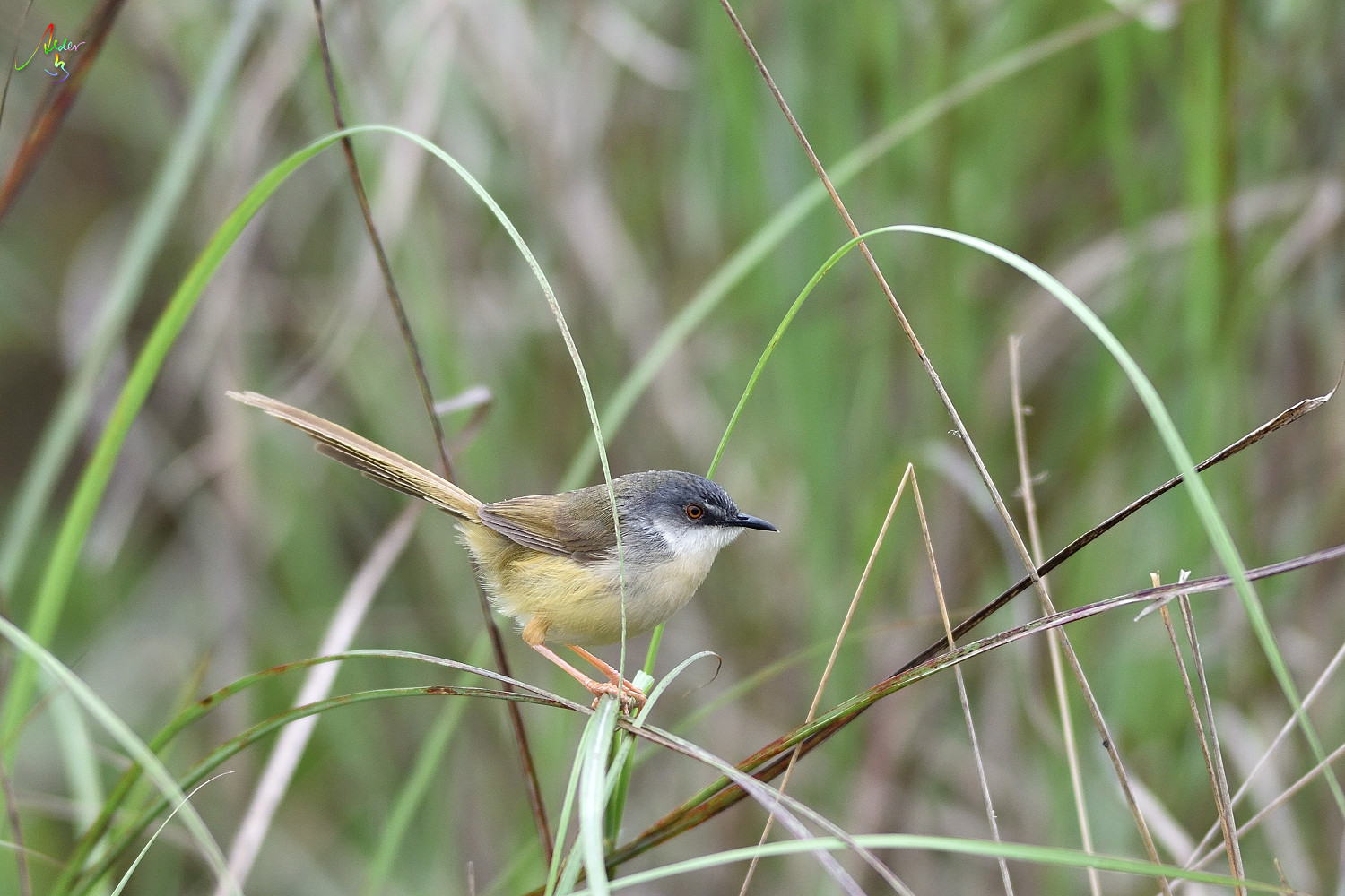 Yellow-bellied_Prinia_3260