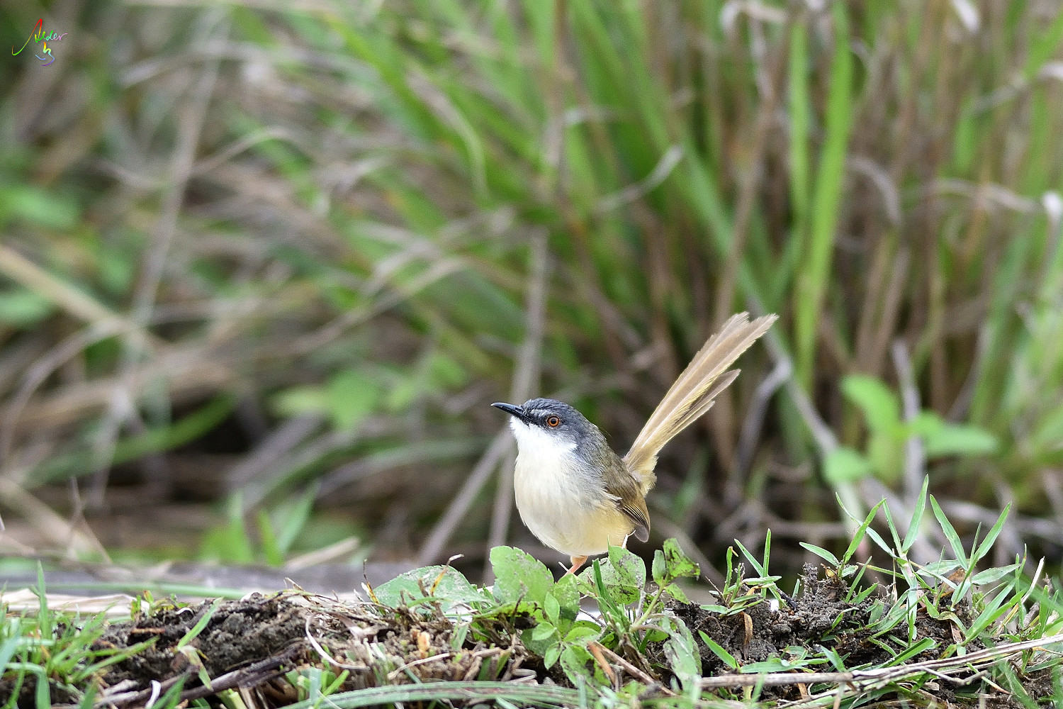 Yellow-bellied_Prinia_2483