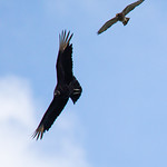 Red-shouldered Hawk Attacking Black Vulture in Airspace Around Nest
