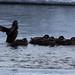 Harlequin Ducks 2 (Charles McMaster)