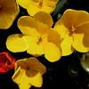Blown tulips, 4/23/17