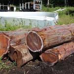 Eucalyptus deglupta logs