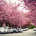 The Last Wave of Cherry Blossoms - Prunus Kanzan (関山)(八重桜), in Vancouver BC Canada