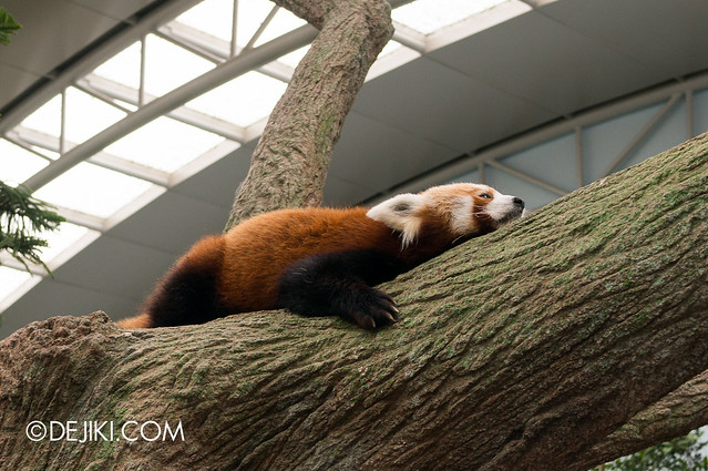 River Safari - Giant Panda Forest / Red Panda
