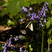 Bluebell and Butterfly (Web_Edit__DSC8459)