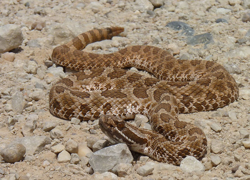 Western Massasauga, North Central Texas