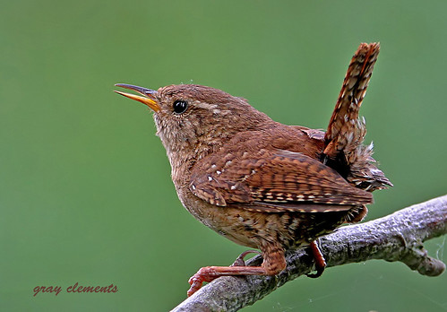 Jenny Wren As Seen On Main Page Of Www Bbc Co Uk Nature