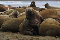 Sergey Murzaev - Walruss on Hayes Island, Frans Josef Land
