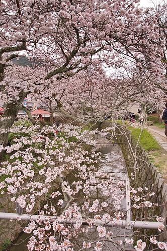 【写真】2013 桜 : 哲学の道/2018-12-24/IMGP9239