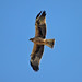 Booted Eagle  (Tom Mabbett)