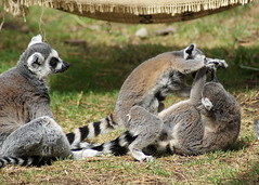 meerkat(0.0), animal(1.0), raccoon(1.0), mammal(1.0), fauna(1.0), lemur(1.0), viverridae(1.0), wildlife(1.0),