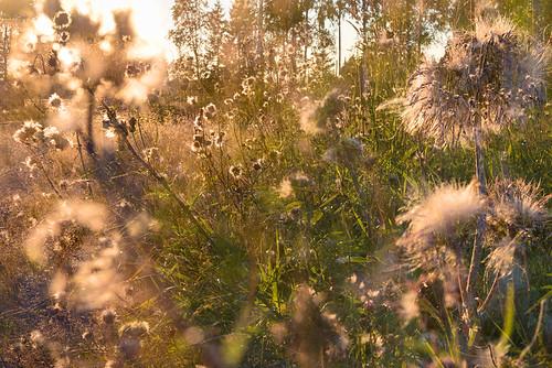 light sunset flower grass suomi finland leaf stem fluff multipleexposure roadside tripleexposure multiexposure pietarsaari jakobstad skrubu j13 pni pekkanikrus