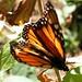 Angangueo - Mariposas Monarcas por ulfinger