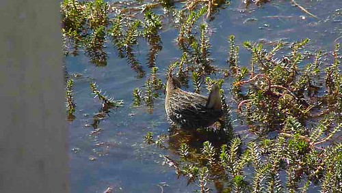 california bird rail aves carolina sora gruiformes porzana rallidae plumasco marblehotspringsroad