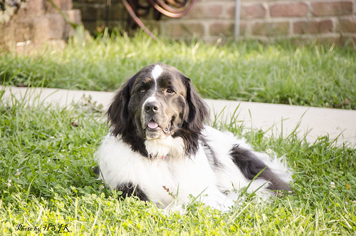 Lilly our Neighbors newfoundland dog