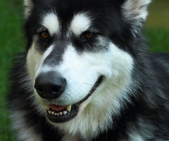 karelian bear dog(0.0), dog breed(1.0), animal(1.0), lapponian herder(1.0), dog(1.0), miniature siberian husky(1.0), alaskan klee kai(1.0), siberian husky(1.0), pet(1.0), russo-european laika(1.0), east siberian laika(1.0), greenland dog(1.0), northern inuit dog(1.0), native american indian dog(1.0), alaskan malamute(1.0), sled dog(1.0), carnivoran(1.0),