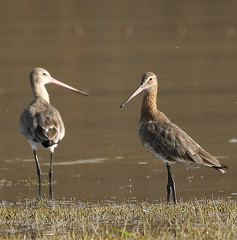 animal, fauna, stilt, shorebird, beak, bird, wildlife,