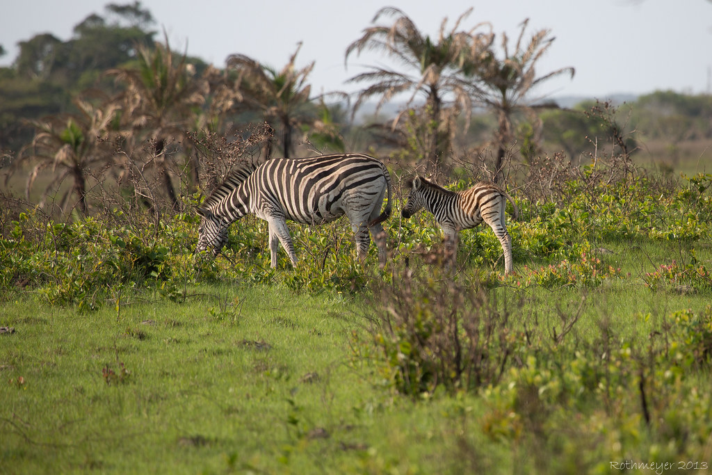 Zebra near St. Lucia South Africa