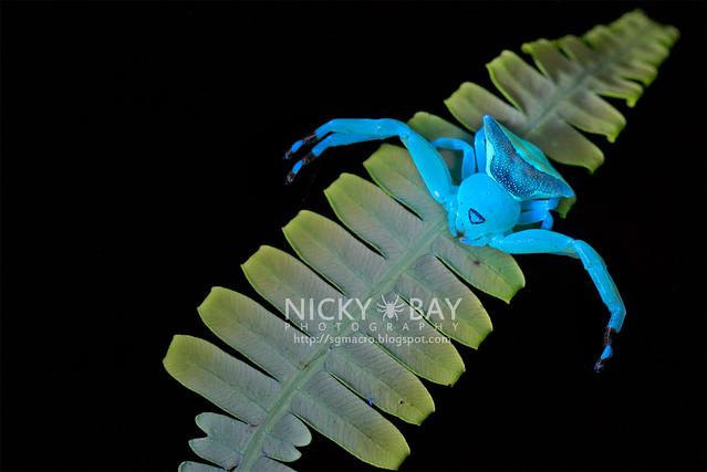 Crab Spider (Thomisidae) - DSC_6658