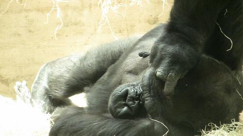 Gorilla House, Wilhelma