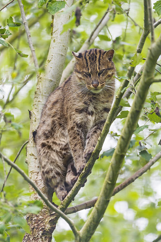 Perched female fishing cat by Tambako the Jaguar