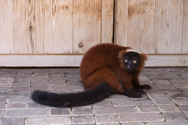 Bioparc Fuengirola Maki Lemur