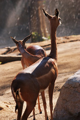 antelope(0.0), gemsbok(0.0), horn(0.0), kudu(0.0), oryx(0.0), bongo(0.0), gazelle(0.0), animal(1.0), mammal(1.0), fauna(1.0), safari(1.0), wildlife(1.0),