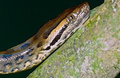 Green Anaconda (Eunectes murinus) juvenile close-up