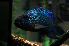 deep sea fish(0.0), underwater(0.0), reef(0.0), pomacanthidae(0.0), fish(1.0), coral reef fish(1.0), organism(1.0), marine biology(1.0), macro photography(1.0), fauna(1.0), freshwater aquarium(1.0), pomacentridae(1.0), aquarium(1.0),