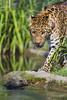 Approaching leopard II