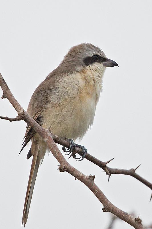 Brown Shrike  Sri Lanka 2013-11-29