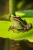 Green Paddy Frog on Lily Pad by RussellK2013