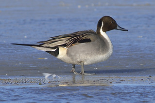 Northern Pintail (male), Bosque del Apache NWR, New Mexico