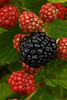 Blackberry, Rubus 'Triple Crown'