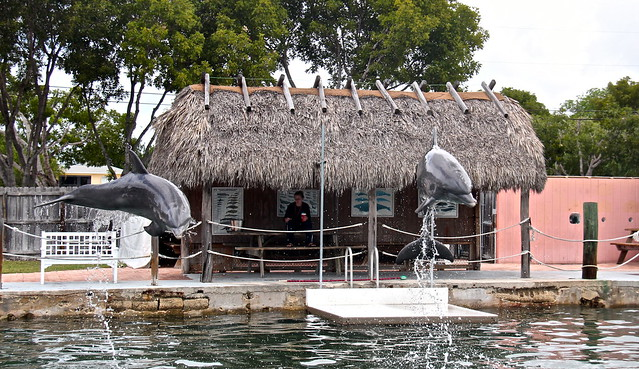 Swimming with Dolphins - Key Largo, Florida - dolphin jumps