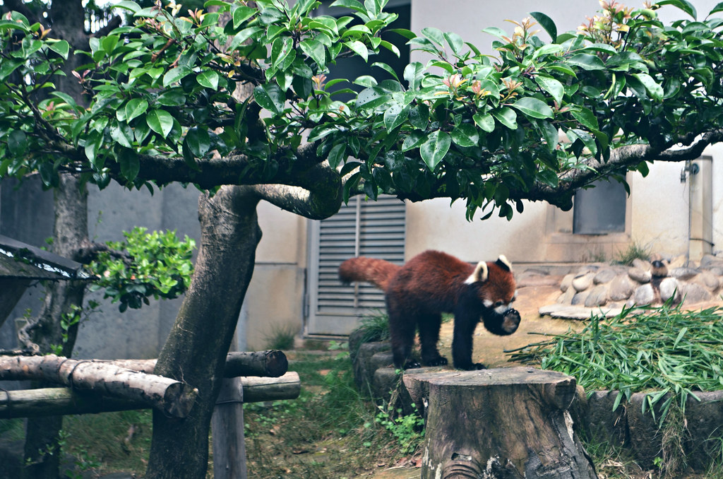 Red Panda Galore