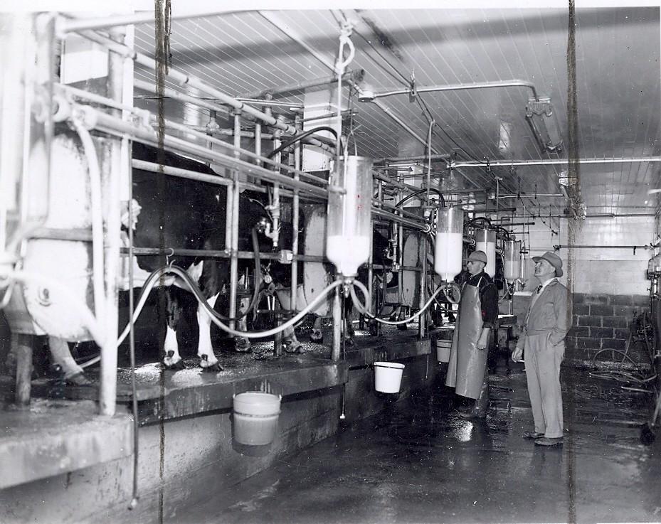 Raymond Coombs' dairy farm, circa 1955