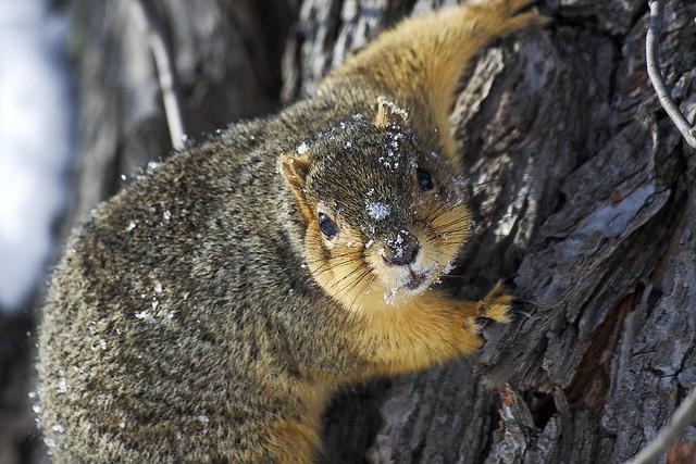 Snowy Squirrel Challenge