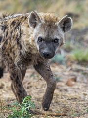 Hyena looking at me