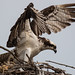Osprey On Nest by Juggler Jim