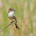 Eastern Phoebe - Thanks everyone for the nice comments and Favs. by cre8foru2009