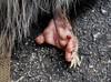 Opossum Foot