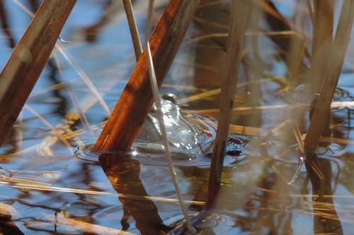 Wood frog?