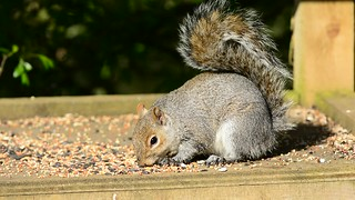 Grey Squirrel - Breakfast time