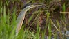 socozinho (Butorides striata)