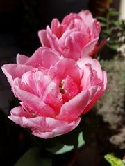Impreziosito di pioggia...  #tulip #Tulipano  #tulip:tulip:  #spring  #drops #pioggia