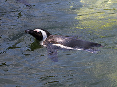 Memphis Zoo 08-31-2016 - African Black-footed Penguin 2