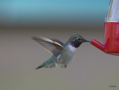 Black-chinned Hummingbird, Richmond BC