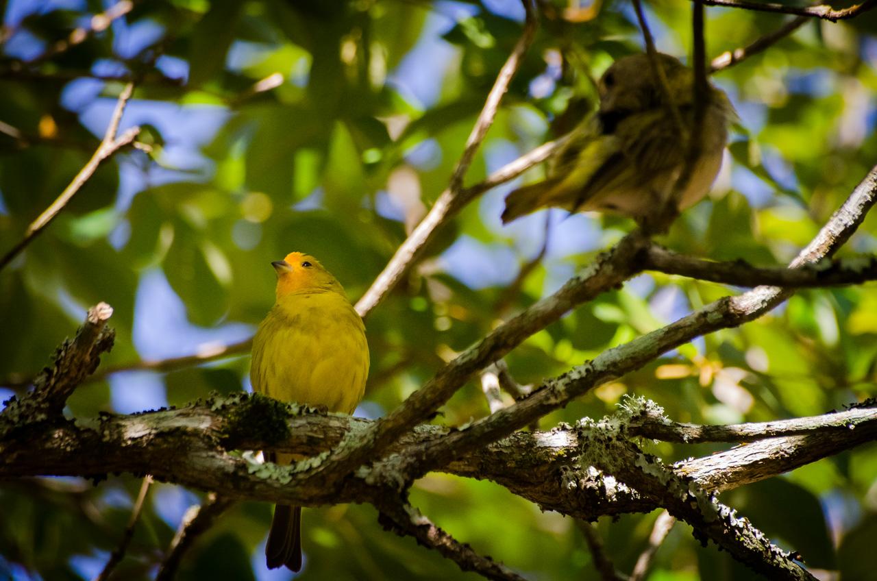 Una pareja de jilguero argentino (Sicalis flaveola pelzelni) es un ave común en las arboledas del Parque Nacional Iguazú, si bien las especies son protegidas en el parque, fuera del mismo es habitual el enjaulamiento de estas aves por su hermoso aspecto y bello cantar, pues se los confunde con los canarios. (Elton Núñez).